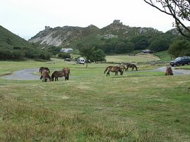 Exmoor Ponies in Valley of Rocks