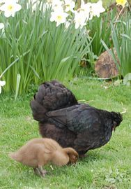 A broody hen and duckling